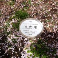 国立劇場の桜(半蔵門)