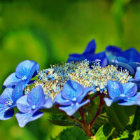護国寺古庭園の紫陽花