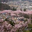 上からも満開だった高遠城址公園の桜