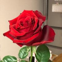 3月6日の薔薇