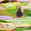 睡蓮の花が咲く小さな池