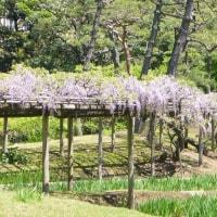 梅の里田の縁彩る藤の花