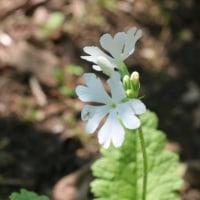 パンセの庭の花 5月23日 サクラソウシロバナ サンショ