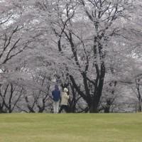 狭山市智光山公園の桜が春爛漫でした。