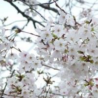 2017年のいつもの場所の桜