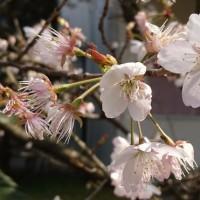 寺の名前がついた桜