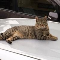車の屋根に猫