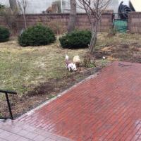 雪の無くなった庭🐶🐶