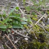 野生のスミレの生態 2017年3月 アリアケスミレの開花までの定点観察④ もうすぐ花芽?