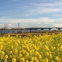 サイクリングで出会った春~荒川の菜の花&新川の河津桜
