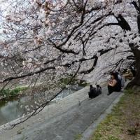 デジブック 『山崎川の桜』