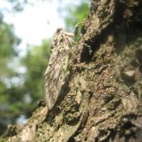 梅の木の幹の色に溶け込むニイニイゼミ!