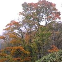 茶臼山・ブナ林の紅葉