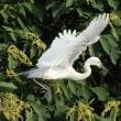 佐賀の青鷺と白鷺.その5