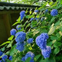 花のお寺と紫陽花