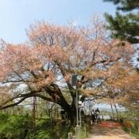 久留米☆浅井の一本桜(ほとめきの樹)  を見に行きました