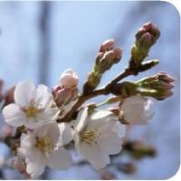 ◯今年も東京のソメイヨシノの「開花宣言」は今日。。。。。花見シーズン来る!