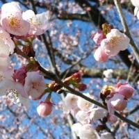 多摩川の河川敷の早咲きの桜が咲き始めました。毎朝、富士山と桜を眺めながら走ってます