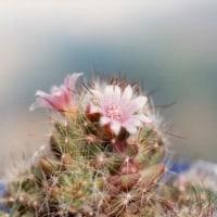 小さなサボテンの花