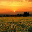 夕日に染まるひまわり畑(小野・ひまわり丘公園)