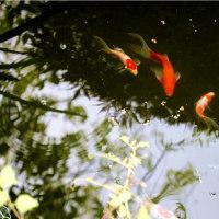 金魚2度目の産卵