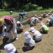 サツマイモ苗植え
