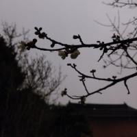 梅、咲いている