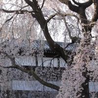 東郷寺のしだれ桜