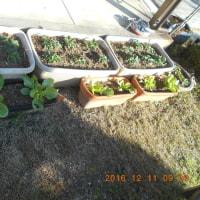 大きくなってきた庭のハクサイ