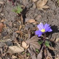 アネモネ・ブランダがもう咲いていた