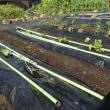 6/4 畑にサツマイモ、キュウリを植える