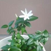 星咲き芳香ジャスミンの花\(^_^)/