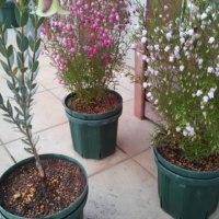 オーストラリアの植物達