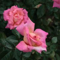 神代植物公園のバラ2011秋545
