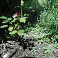 黒竹とバラの挿し芽の物語