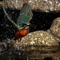池の上を飛び回る
