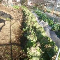 白菜がハチマキ、これで冬に負けないぞ!
