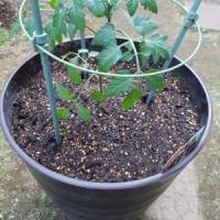 エビとなすでチリソースの晩ごはんとミニトマトの植え付け