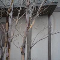 冬の樹の姿も美しいナツツバキ