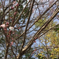 桜とサンシュユ