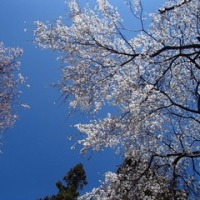 桜コレクションー若一神社