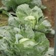 fotolia作品で菜園キャベツの様子