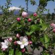 りんごの花が満開
