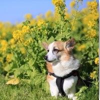 ちょっと遅かった菜の花畑でのアクアの様子♪