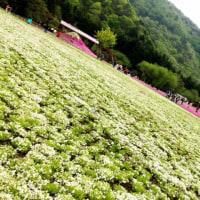 富士芝桜まつり🌸