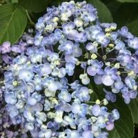 花日記 アジサイとスイレン My flower diary, hydrangea and water lily
