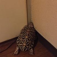 ☆ホシガメ☆チャレンジャーp(^_^)q