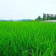 ひまわり、ツバメ、育つ稲。