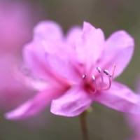 4月の花 ミツバツツジ 3