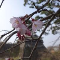ただ二本の桜を愛でに行く